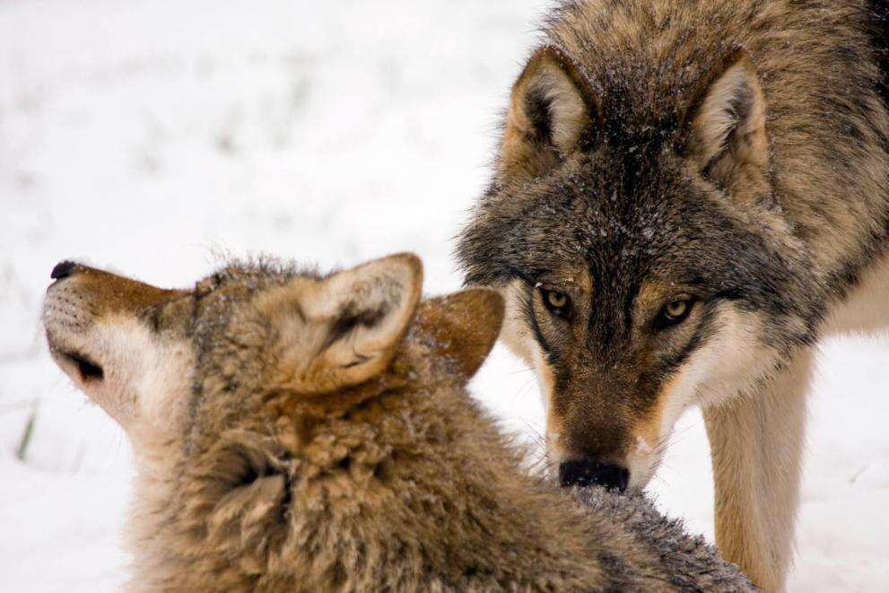 2 wolfs in the snow